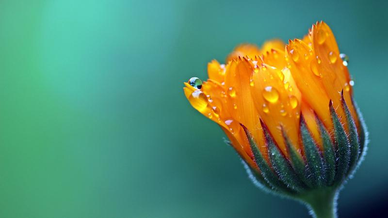 Eine halb geschlossene Ringelblumenblüte mit Tautropfen benetzt