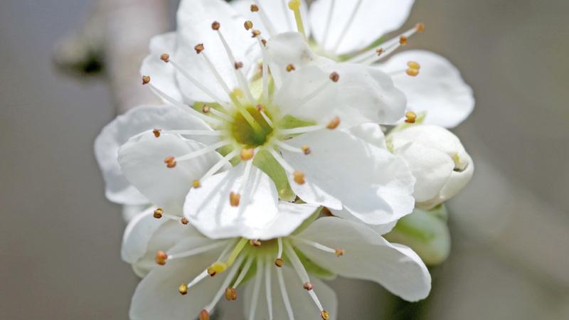 Kirschpflaumenblüten