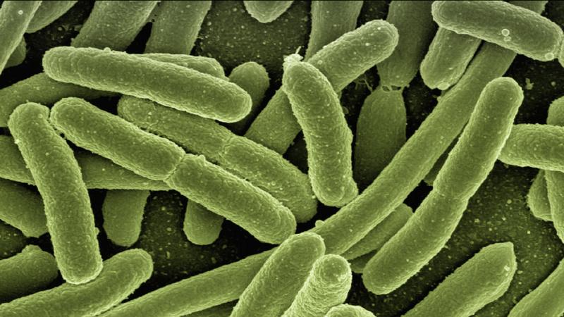 Bakterien, Probiotika, Darmflora, Vaginalflora, Mundflora: Escherichia coli bacteria durch ein Mikroskop betrachtet