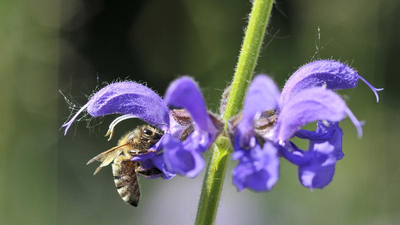 Insekten, Stiche: eine blaue Blume, auf der einen Blumen sitzt eine Biene und trinkt Nektar