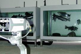 On utilise aujourd'hui encore des poissons lors la dernière phase de test dans les usines de traitement de l'eau.